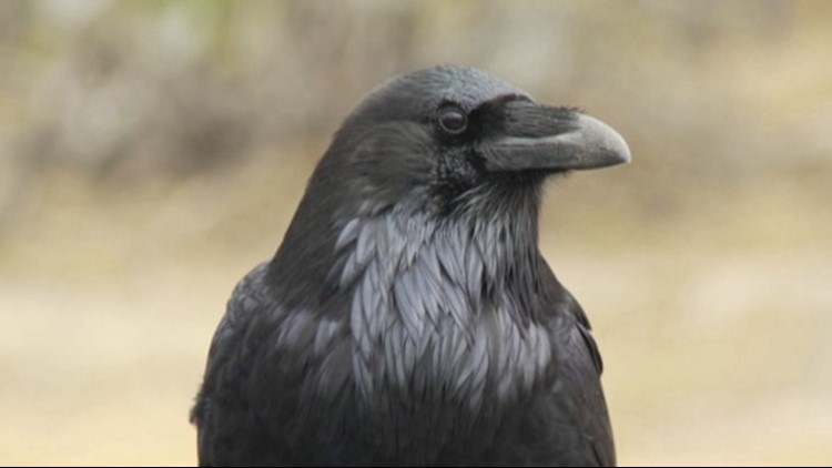 Are Crows Just as Intelligent as Humans and Great Apes?