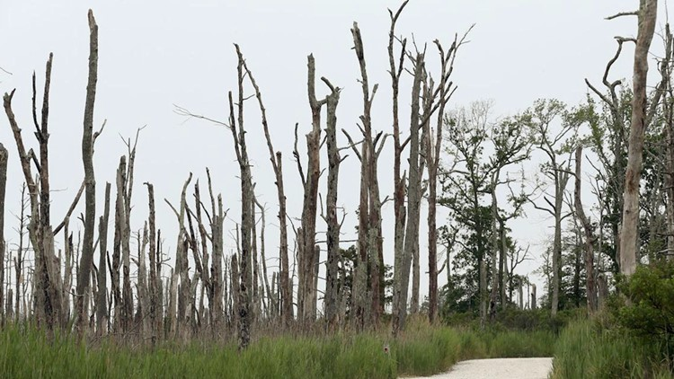 'Ghost Forests' Are Emerging Along the Atlantic Coast