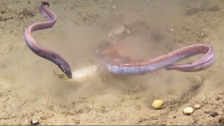 Crab vs. Eels in a Game of Tug-of-War Over a Squid Dinner