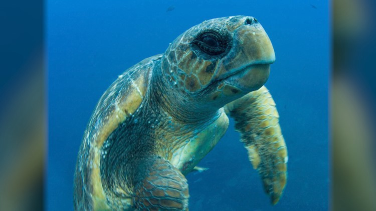 Here's How Loggerhead Sea Turtles Make Incredible Journey From Japan To Mexico