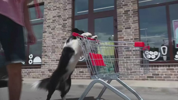 Top Dog! Check Out This Russian Dog Doing Various Tricks While on His Hind Legs!