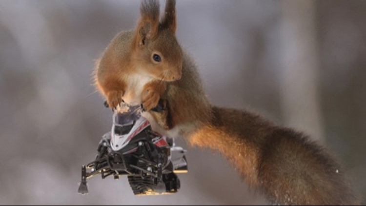 Skiing and Riding Snowmobiles Are What These Squirrels Love Doing The Most!