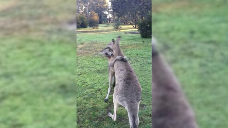 Kangaroo Quarrel! Funny Video Shows Two Adorable Kangaroos Play Fighting!