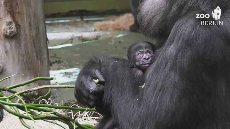 Going Ape! Berlin Zoo Determines Zoo of Newborn Baby Gorilla...
