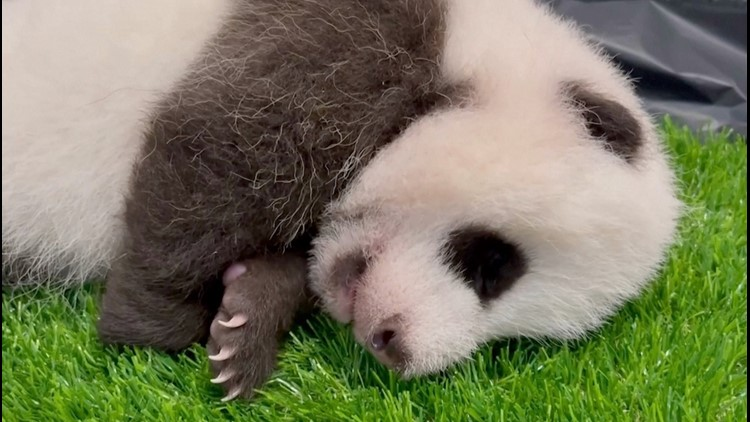 The Cutest Thing You'll See All Day! Panda Cub Grows Baby Teeth