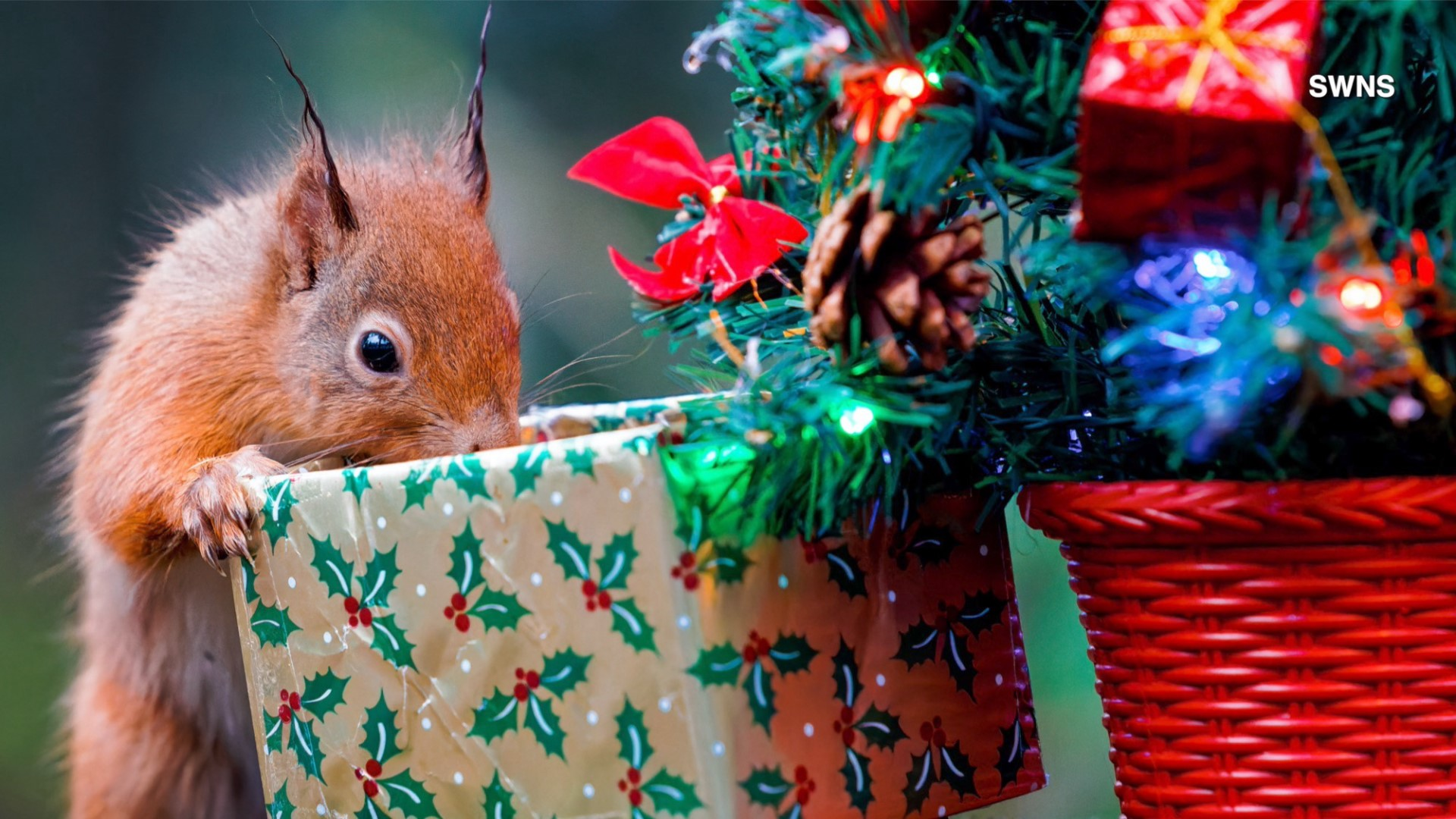 Nutty Christmas Squirrel Caught Opening Gifts Under A Mini Christmas Tree Weareiowa Com