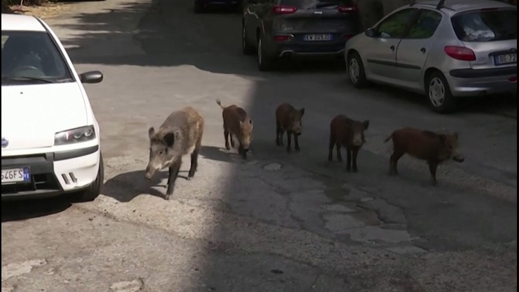 Boar-Lieve It! Roaming Wild Boars Causes Problems in Northern Rome!