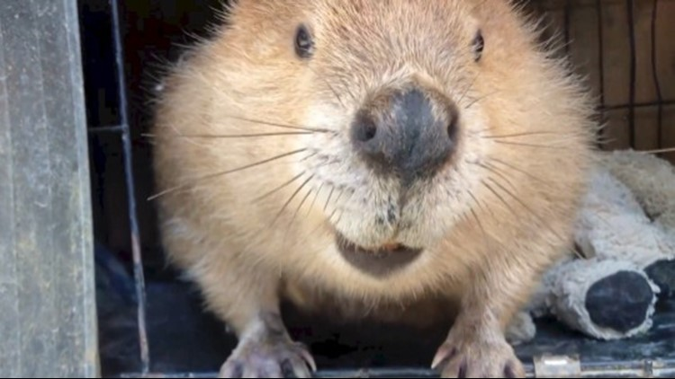This Educational Rodent Named Justin Beaver Will Probably Be The Cutest Thing You See All Day!