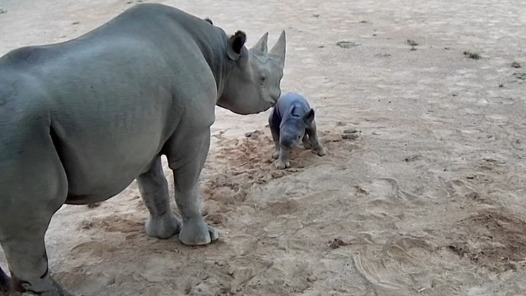 Rearing Rhino! Watch This Adorable Newborn Rhino Struggle To Take First Steps at Aussie Zoo!