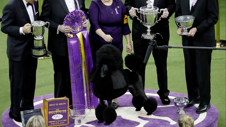 Westminster dog show won't have spectators due to pandemic