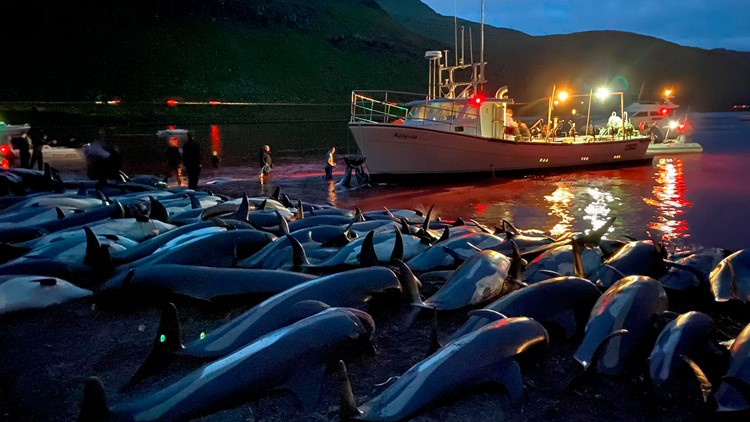 Faroese govt to review hunt rules after dolphin slaughter