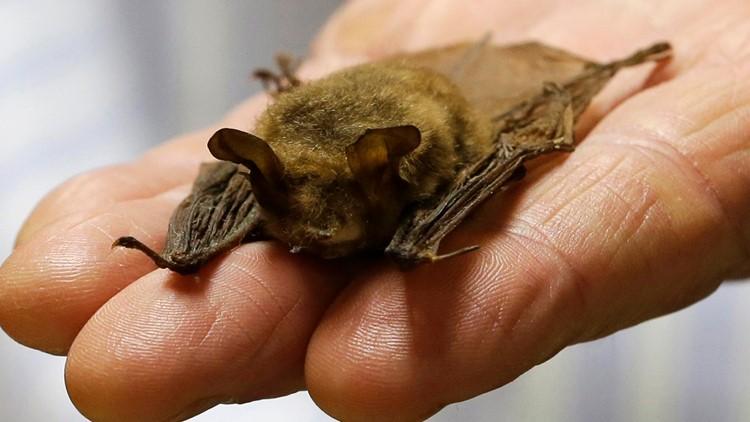 Tiny bats put kibosh on power line tree-cutting for 2 months
