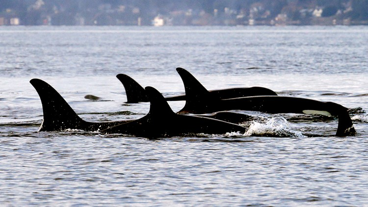 Chinook salmon are key to Northwest orcas all year, study says