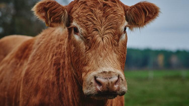 40 cows escape LA suburb slaughterhouse