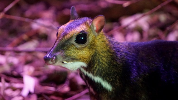 Rare mouse-deer birth caught on video