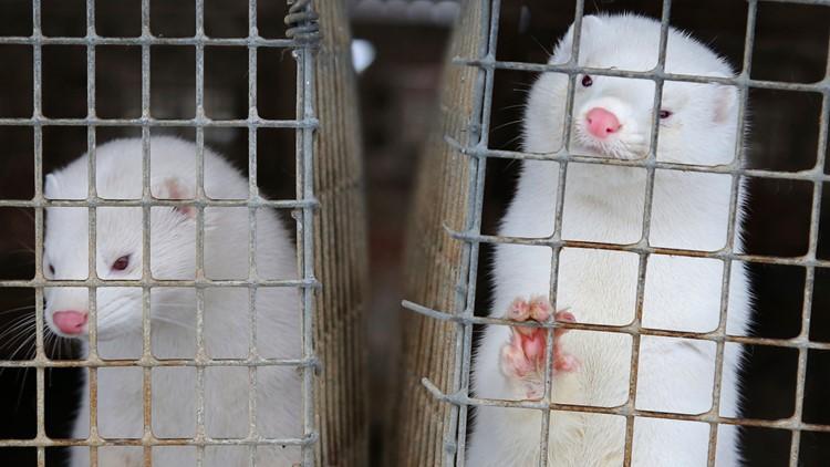 North Denmark in lockdown over mutated mink coronavirus fear