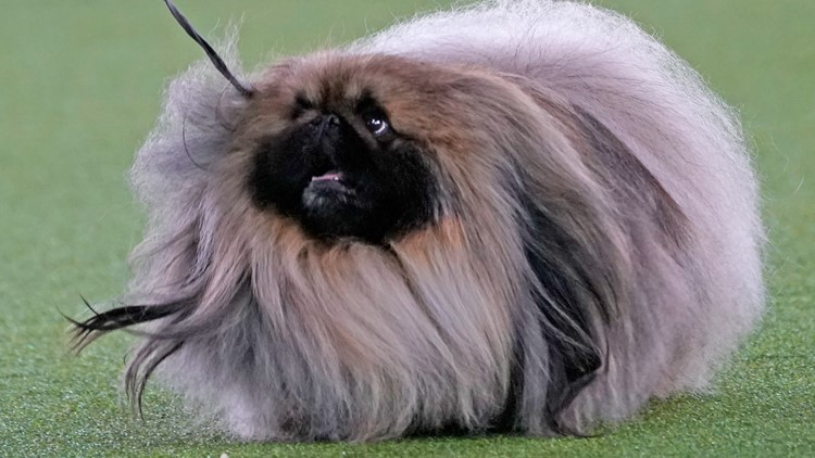 Top dog! Wasabi the Pekingese wins Best in Show at Westminster
