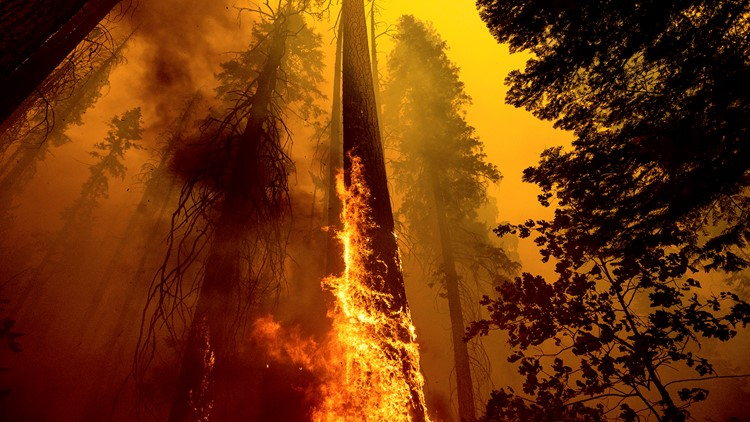 'Heartbreaking': Hundreds of California's giant sequoias may have been killed by wildfire