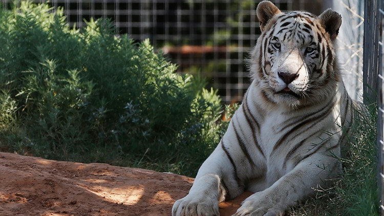 Last big cats seized from 'Tiger King' park in Oklahoma