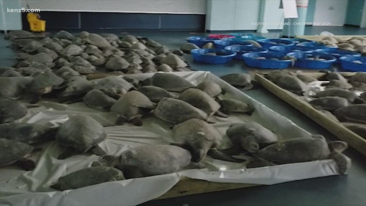 Sea turtles rescued during historic Texas freeze return to the ocean