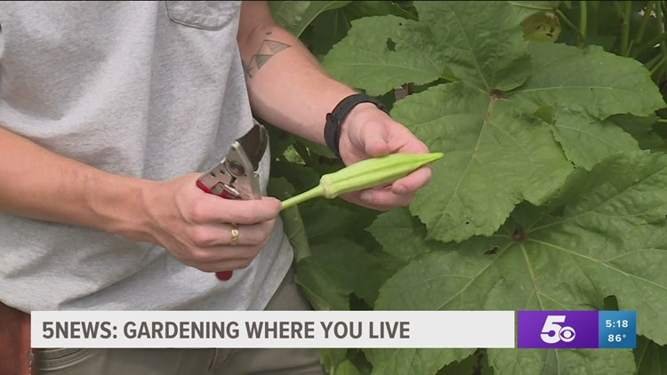 Garden Club: Harvesting Okra, Corn & Green Beans