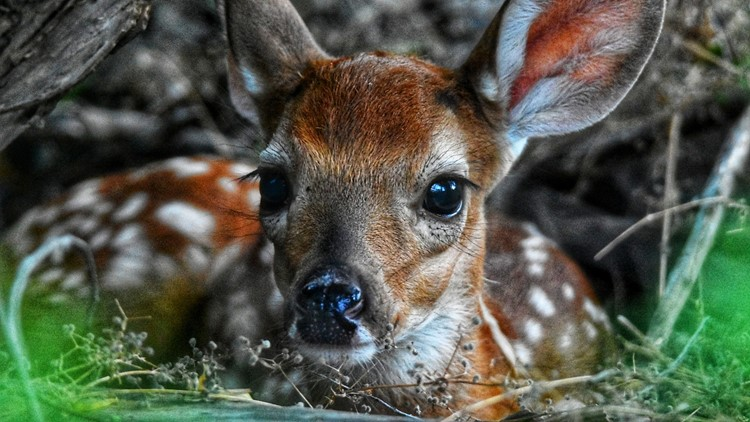 Arkansas Game and Fish Commission want wildlife appearing orphaned to be left alone