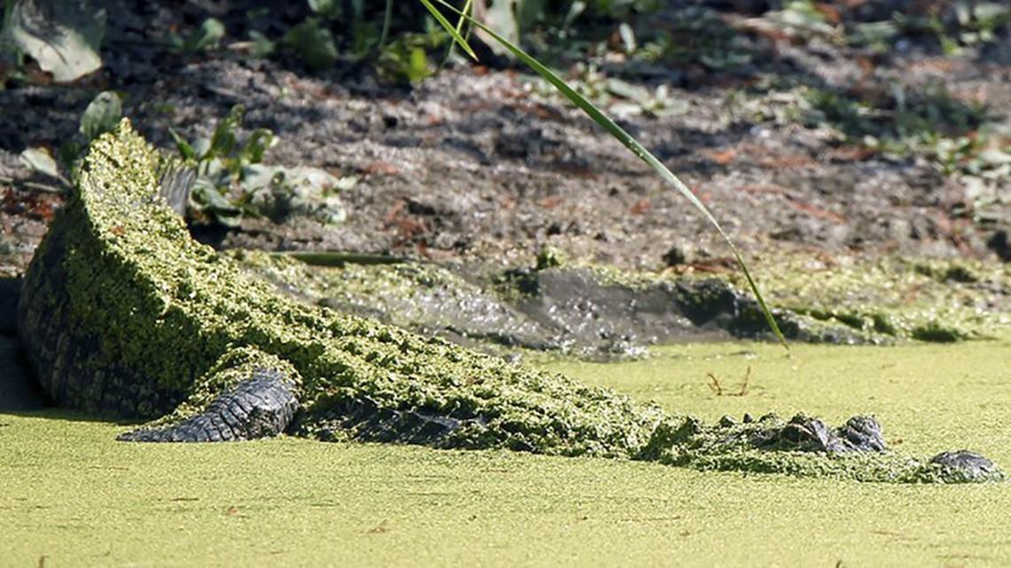 June 30 deadline for 2021 Arkansas alligator hunting season permit; 33 permits to be issued via draw