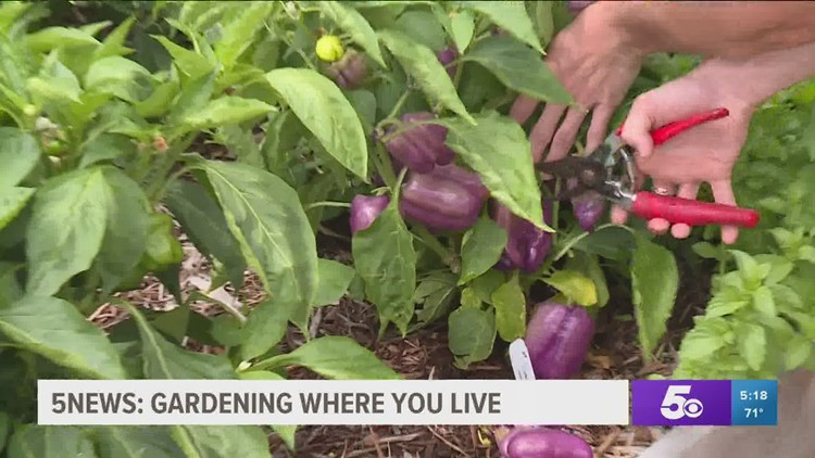 Garden Club: How to Know When Your Vegetables are Ready to Harvest