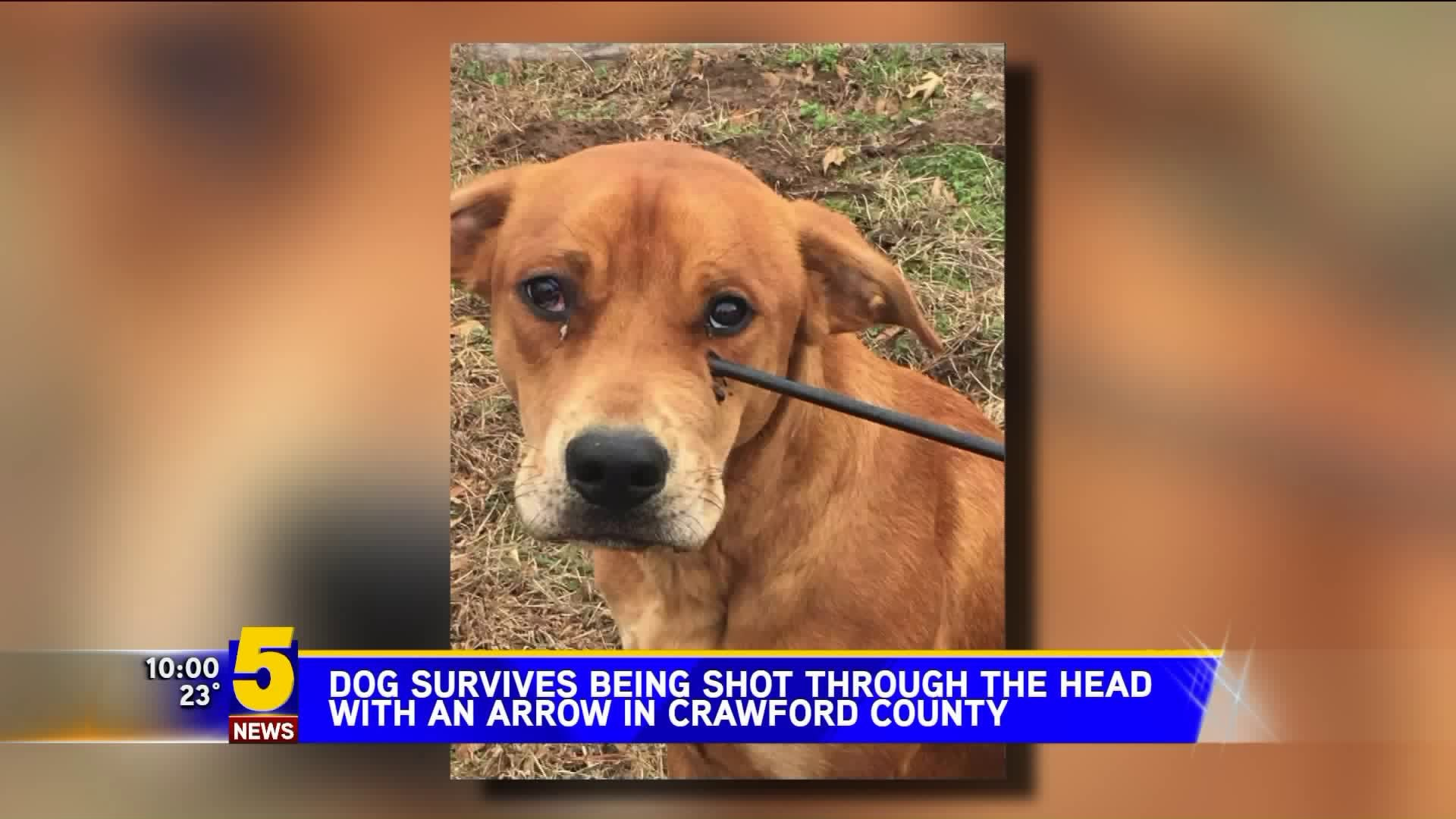 Warning Graphic Images Dog Shot Through The Head With Arrow In Crawford County 5newsonline Com He is at risk of infectio. dog survives being shot through head with an arrow in crawford county