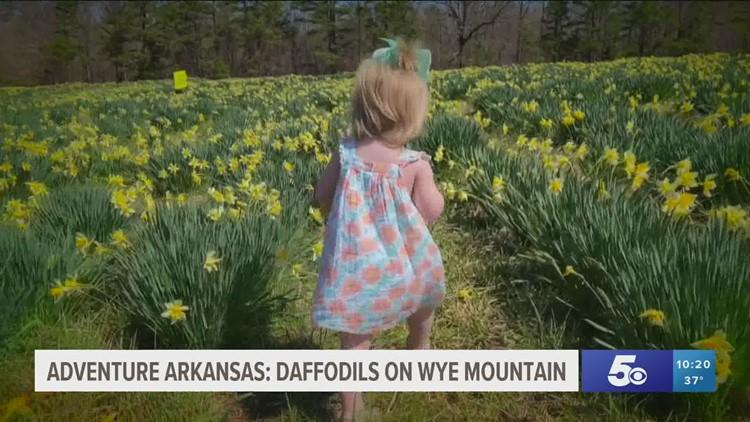 Adventure Arkansas: Daffodils on Wye Mountain
