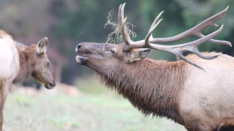 Over 4K Arkansans applied for an elk hunting permit; only 23 will receive one, 20 winners announced