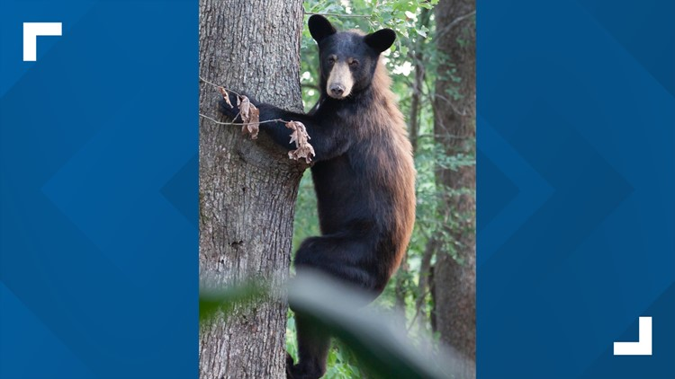 Black bears on the move after months with no food or water travel long distances seeking new territory