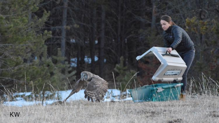 Rare great gray owl released back into central Oregon wilderness after injury