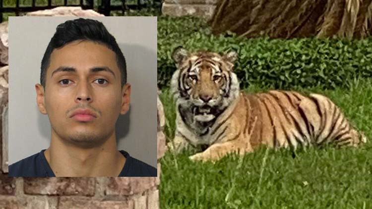 'It's not his tiger' | Lawyer for man at center of tiger investigation says Houston Police rushed to judgment