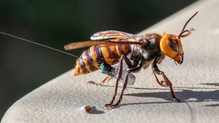 Asian giant hornet traps in Washington to be removed ahead of winter