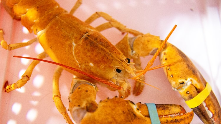 Extremely rare, orange lobster saved from being a meal at a Scottsdale restaurant