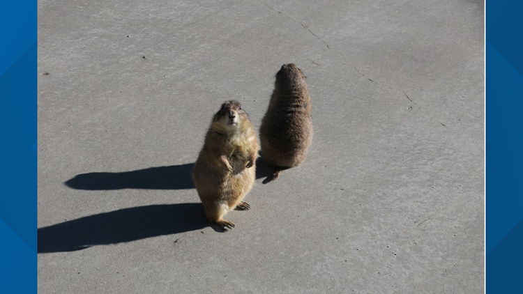 Pend Oreille Prairie Dogs predict spring will come early this year