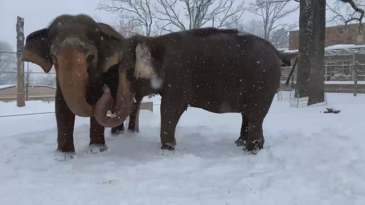 Watch: Elephants at Little Rock Zoo have playtime in the snow