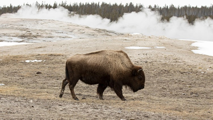 Woman gored multiple times by bison at Yellowstone National Park
