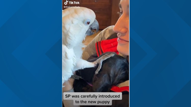 Idaho's 'Sweet Pea' parrot goes viral on TikTok after meeting puppy