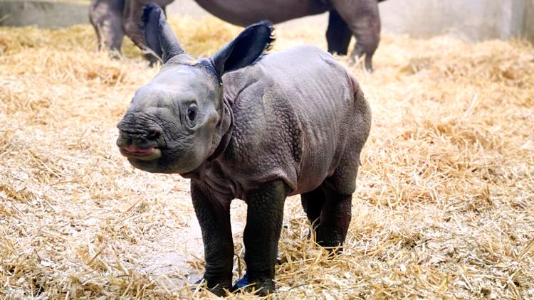 New baby rhino at Denver Zoo will melt your heart