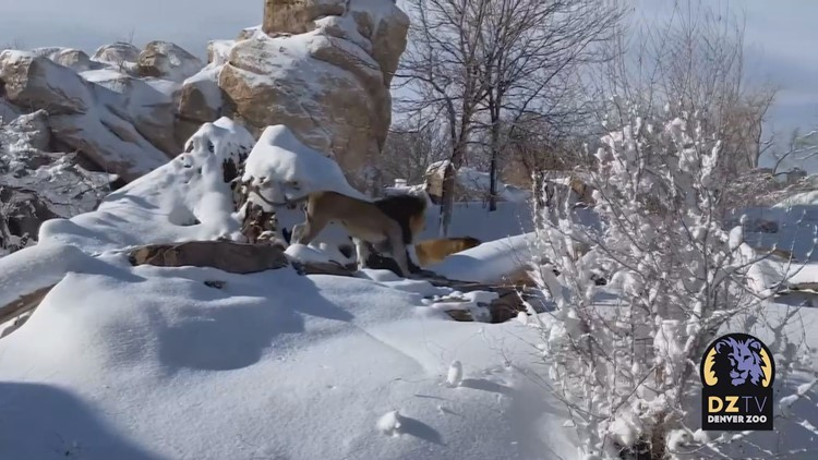 Denver Zoo's lions played in the snow like dogs, and there's a video to prove it