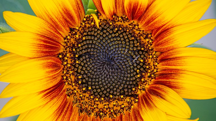 18 incredible sunflower photos from Colorado viewers