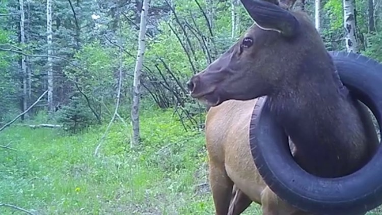 Tire removed from elk's neck after more than 2 years