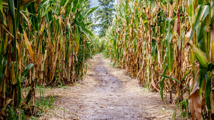 Iowa ag secretary says corn crops look 'surprisingly good' as harvest approaches