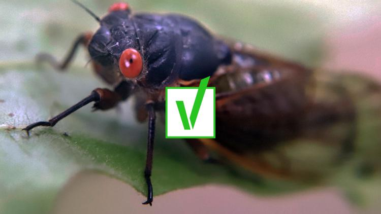 VERIFY: Yes, Brood X cicadas are edible for humans and pets