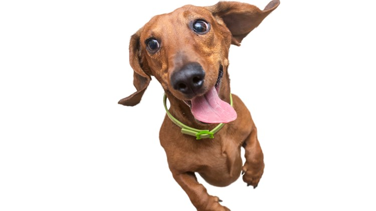 Adorable dog alert: The Running of the Weenies returns to the Germantown Festival