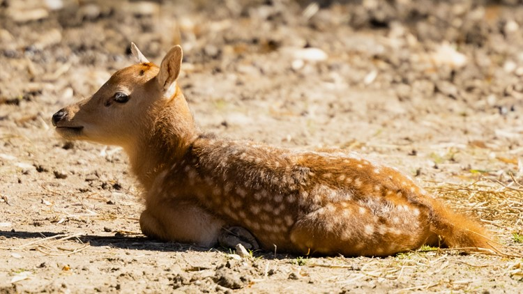 Memphis Zoo welcomes rare Pere David's Deer fawn to the family