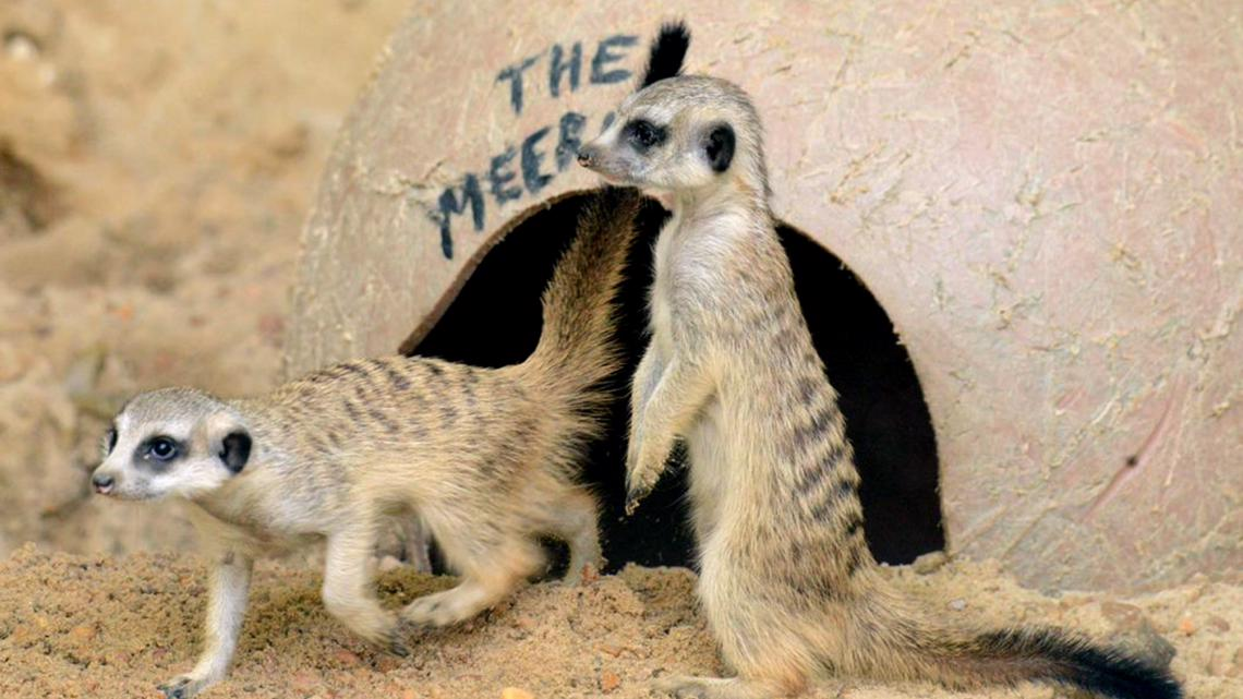 What cuties! Memphis Zoo welcomes four meerkat pups to the mob