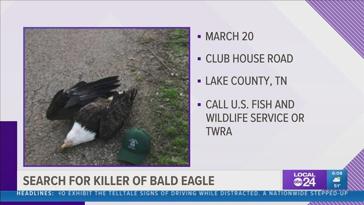 Reward offered after bald eagle killed in West Tennessee